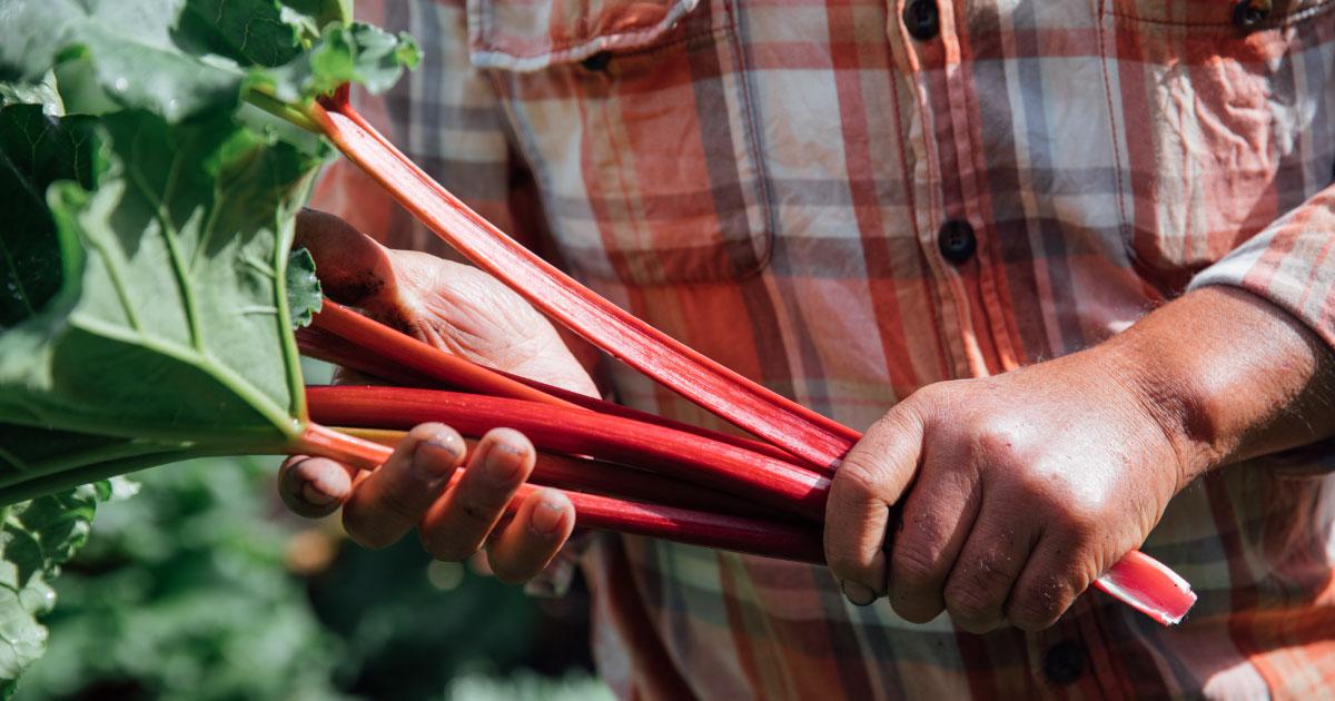 真っ赤なルバーブの栽培と販売・かぼちゃん農園